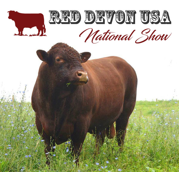 Red Devon USA cattle